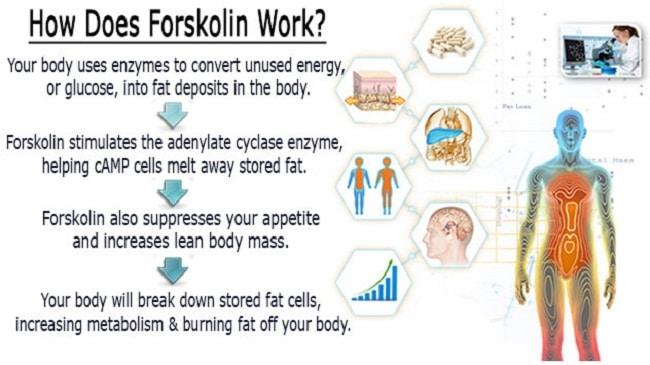 how does forskolin work
